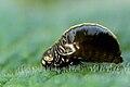 Chrysolina.coerulans4.-.lindsey.jpg