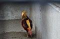 Chrysolophus pictus (male), Lahore Zoo - 04.jpg