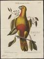 Chrysotis leucocephalus - 1700-1880 - Print - Iconographia Zoologica - Special Collections University of Amsterdam - UBA01 IZ18600127.tif