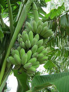 Pisang Awak Banana cultivar