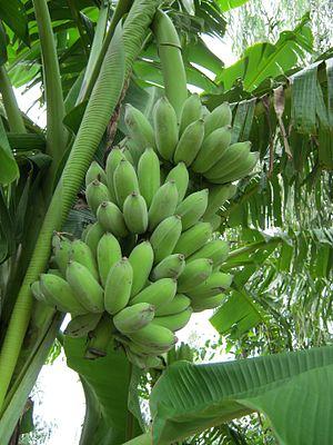 Pisang Awak - Unripe pisang awak