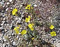 Chylismia brevipes Golden-evening-primrose plant.jpg