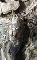Cicade Sicilie 2.jpg
