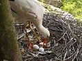 Cicogna e uova.jpg