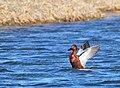 Cinnamon Teal Drake on Seedskadee National Wildlife Refuge (25607636214).jpg