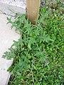 Cirsium vulgare 1-eheep (5097832462).jpg