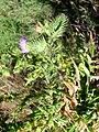 Cirsium vulgare StemandLeaves 15August2009 LagunadeCaracuel.jpg