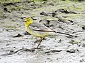 Citrine Wagtail female, Lynemouth Flash, Northumberland 3.jpg