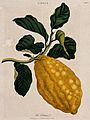Citron (Citrus medica); fruiting branch. Coloured etching by Wellcome V0044301.jpg