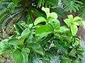 Citrus aurantium 'Bouquet de fleurs' - Sour orange.jpg