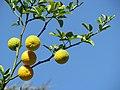 Citrus trifoliata Poncyria trójlistkowa 2011-09-11 03.jpg