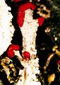 Cladonia cristatella.jpg