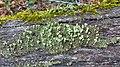 Cladonia pyxidata 3040102.jpg