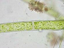 algue filamenteuse � wikip233dia