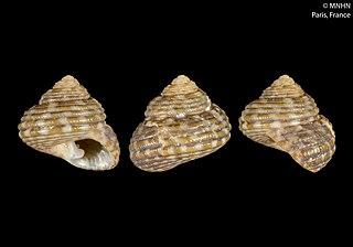 <i>Clanculus thomasi</i> Species of gastropod