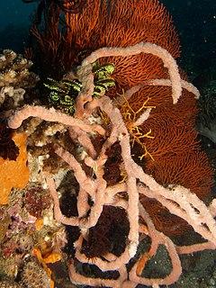 Clathria reinwardti (Sponge)