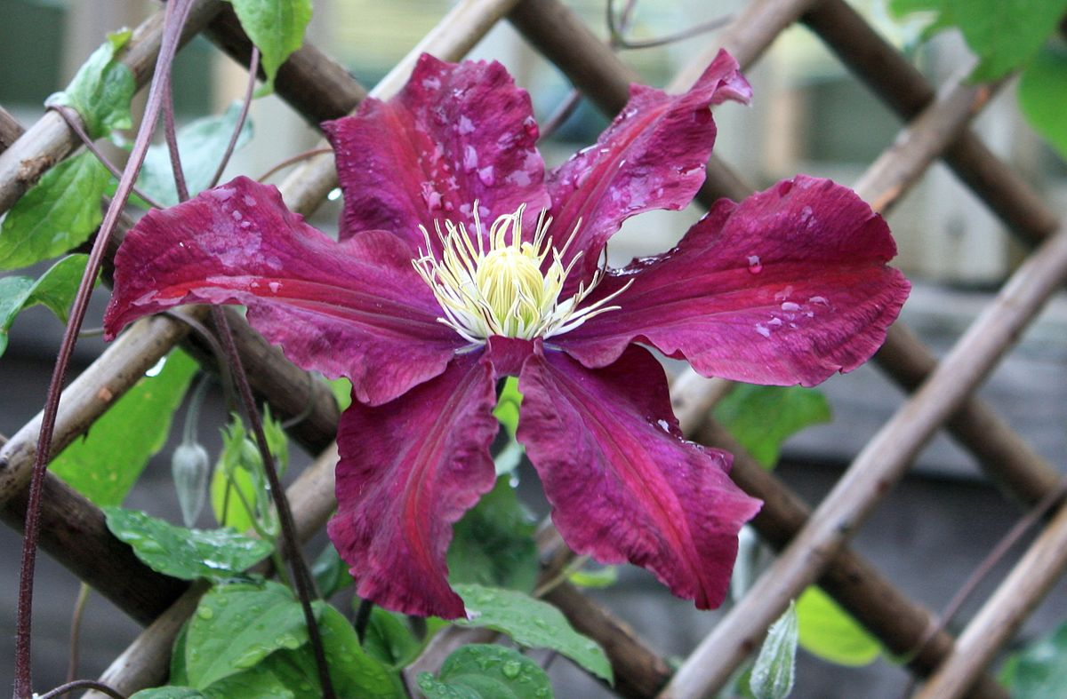 clematis late largeflowered group wikimedia commons. Black Bedroom Furniture Sets. Home Design Ideas