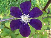 Clematis `The President` a1.jpg