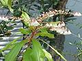 Clethra arborea2.jpg