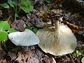 Clitocybe phyllophilla a2 (1).JPG