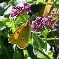 Clouded Yellow. Colias crocea. January - Flickr - gailhampshire.jpg