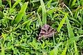 Clover looper moth (41456597490).jpg