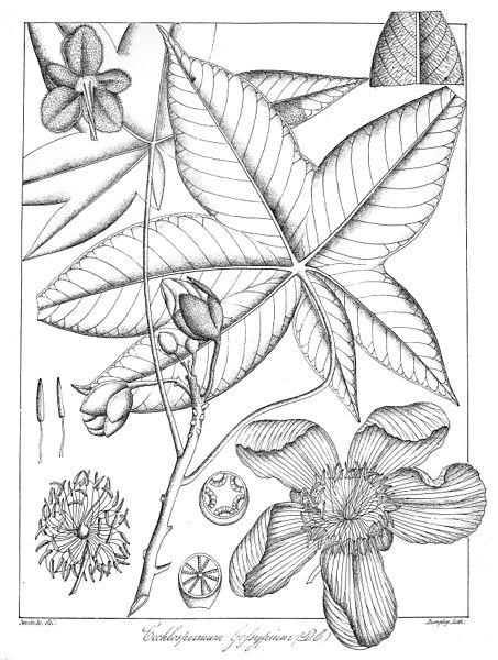 File:Cochlospermum gossypium Govindoo.jpg