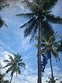 Coconut tree climbing DSCN0345.jpg