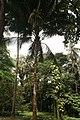 Cocos Nucifera 08.jpg