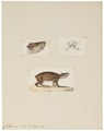 Coelogenys paca - 1700-1880 - Print - Iconographia Zoologica - Special Collections University of Amsterdam - UBA01 IZ20600093.tif