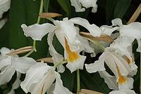 Coelogyne cristata (1)
