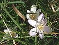 Colchicum autumnale ENBLA04.jpeg