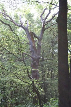 Coldfall Wood - The absence of foliage on this blasted oak lets light through to the woodland floor.
