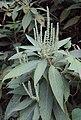 Colebrookea oppositifolia 01.JPG