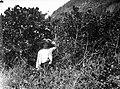 Collectie Nationaal Museum van Wereldculturen TM-10028912 Een man bij een Conocarpus struik Nederlandse Antillen fotograaf niet bekend.jpg
