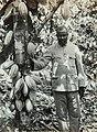 Collectie Nationaal Museum van Wereldculturen TM-60062007 Cacaoboom Trinidad fotograaf niet bekend.jpg