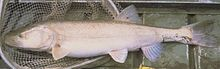 Colorado Pikeminnow.jpg
