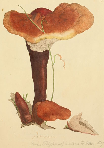 File:Coloured Figures of English Fungi or Mushrooms - t. 134.jpg