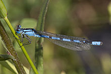 Common Blue Damselfly.jpg