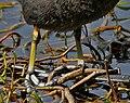 Common Coot (Fulica atra) legs W2 IMG 8448.jpg