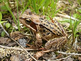 Common Frog in Norway, 2007.jpg