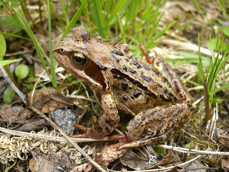 File:Common Frog in Norway, 2007.jpg
