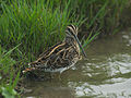 Common Snipe 0537.jpg