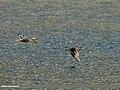 Common Teal (Anas crecca) (24687480129).jpg