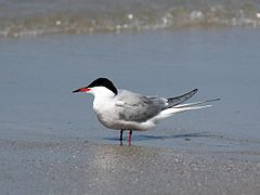Common Tern.jpg