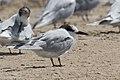 Common Tern Bolivar Peninsula TX 2018-03-25 12-14-30 (26167922627).jpg