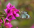 Common Wanderer (Pareronia valeria)- Male on a Bougainvillea species in Kolkata W IMG 3678.jpg