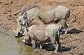 Common Warthogs (Phacochoerus africanus) male (32189005341).jpg