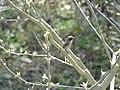 Common Woodshrike - Tephrodornis pondicerianus - DSC01058.jpg