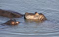 Common hippopotamus, Hippopotamus amphibius, at Letaba, Kruger National Park, South Africa (20226869045).jpg